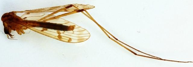 Image of <i><i>Metalimnobia</i></i> (Metalimnobia) <i>quadrinotata</i> (Meigen 1818)