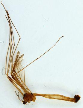 Image of <i>Cylindrotoma distinctissima</i> (Meigen 1818)