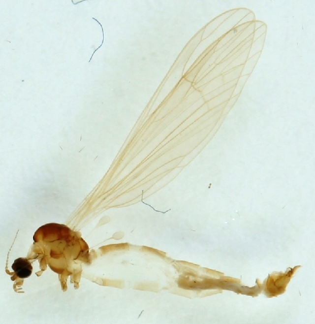 Image of <i><i>Gonomyia</i></i> (Gonomyia) <i>simplex</i> Tonnoir 1920