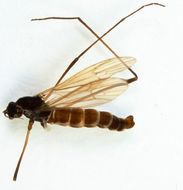 Image of <i>Symplecta</i> (<i>Psiloconopa</i>) <i>meigeni</i> (Zetterstedt 1838)