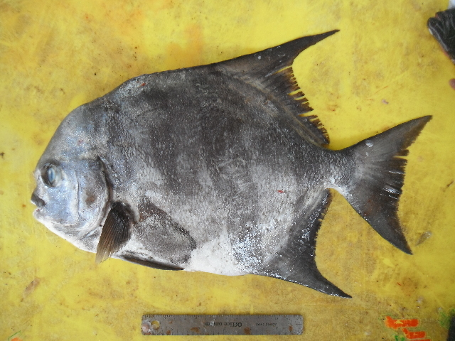 Image of spadefishes