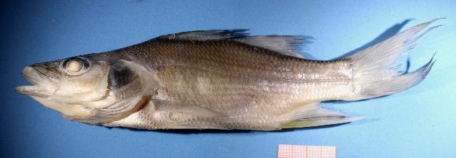 Image of Centropomus
