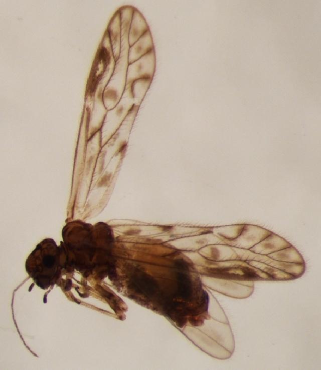 Image of Philotarsus