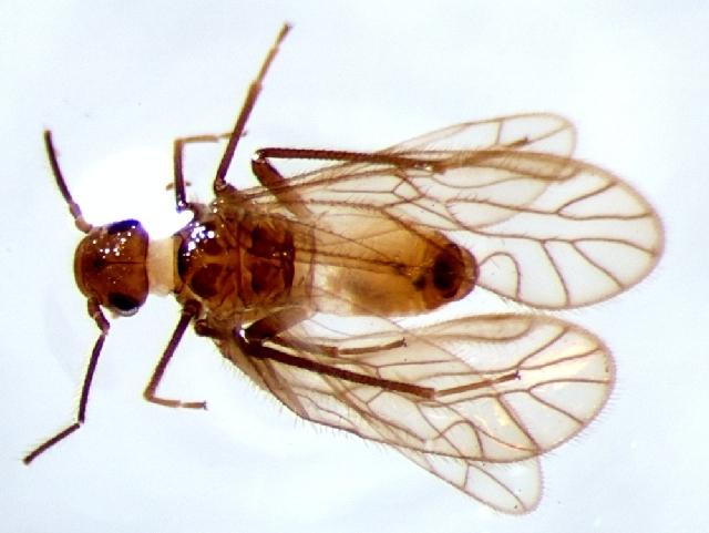 Image of Amphipsocinae Pearman 1936