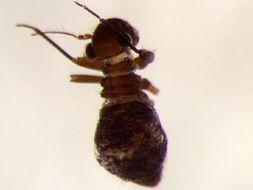 Image of Bertkauia