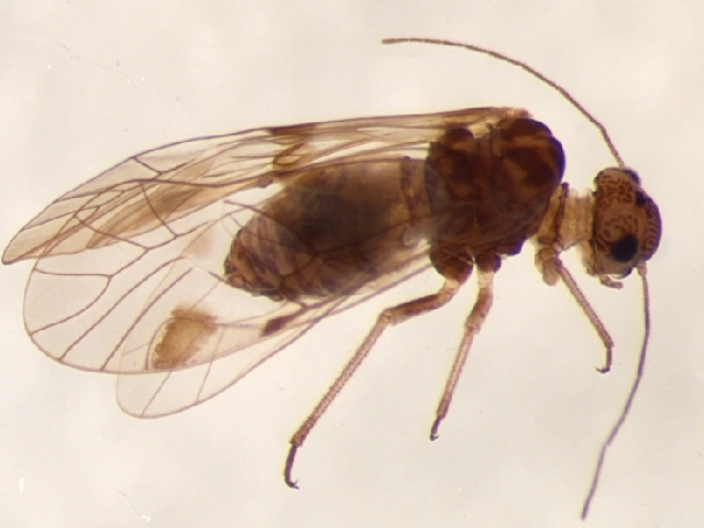 Image of Amphigerontia