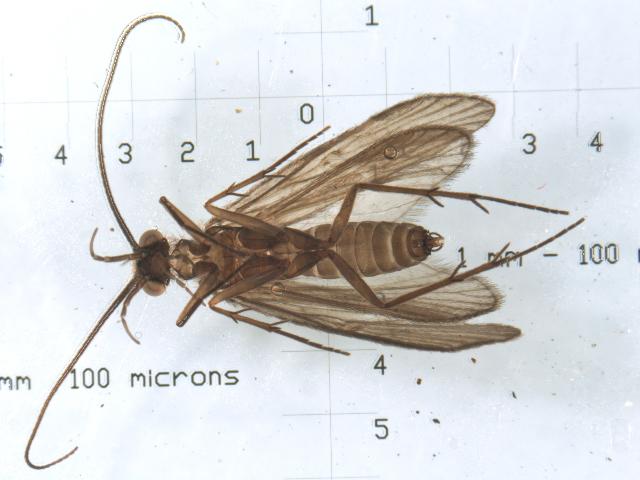 539.flcad o25 chimarra falculata b2 1252768672 jpg