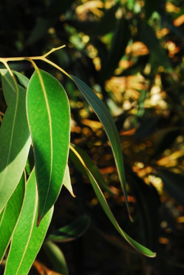 539.flri bs0063 eucalyptus 2 1298608990 jpg