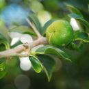 Image of Kei-apple