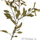 Image of tree tobacco