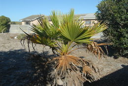 Image of Mexican fan palm