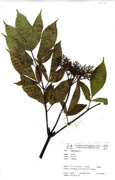 Image of black elderberry