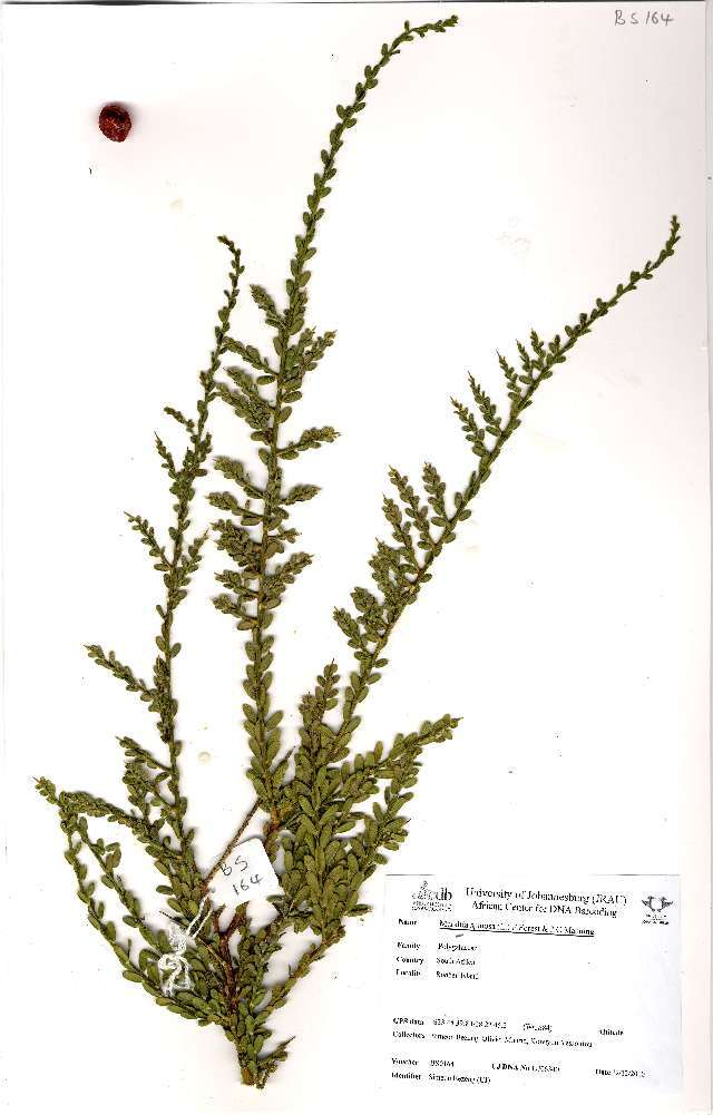 Image of <i>Muraltia spinosa</i> (L.) F. Forest & J. C. Manning