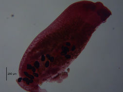 Image of <i>Austrodiplostomum ostrowskiae</i> Dronen 2009