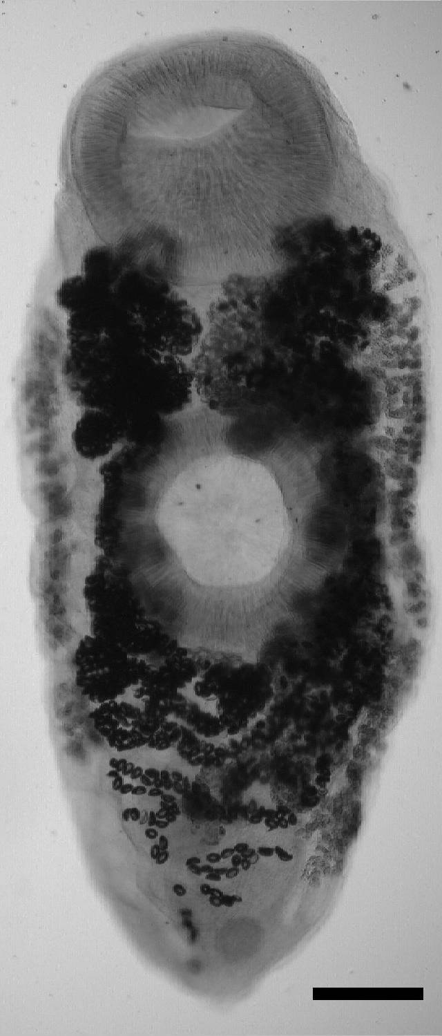 Image of <i>Urogonimus macrostomus</i> (Rudolphi 1802) Rudolphi 1802
