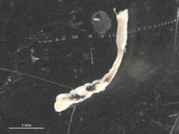 Image of Dicrocoeliidae