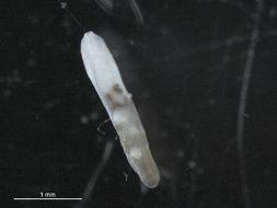 Image of Heterophyidae