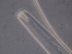 Image of Araeolaimida