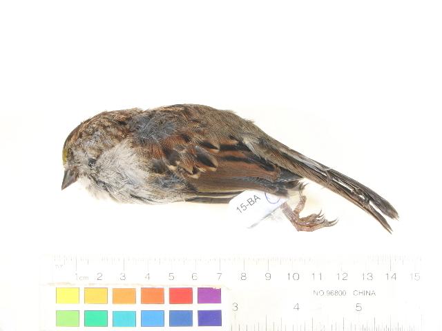 Image of Zonotrichia Swainson 1832