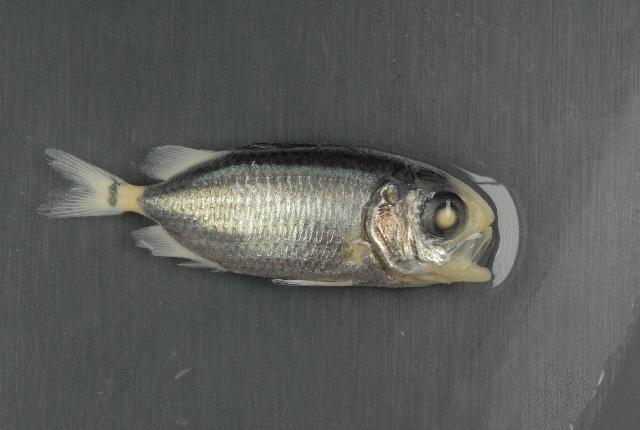 Image of Australian Squirrel-fish