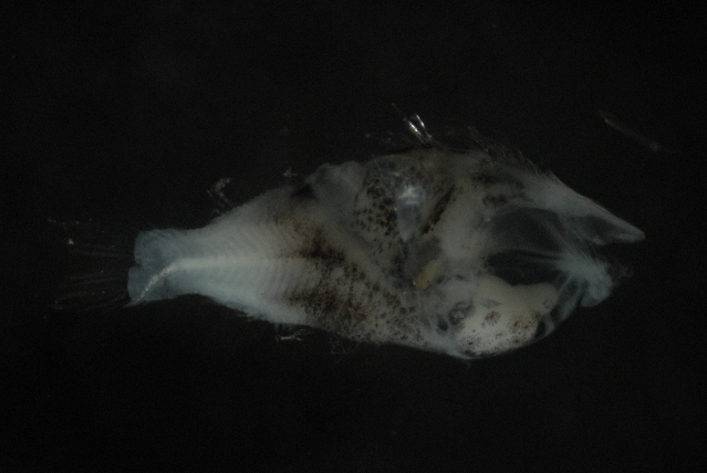 Image of Sergeant Fish