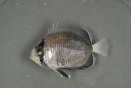 Image of Butterflyfishes