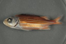 Image of Fine-lined Squirrelfish