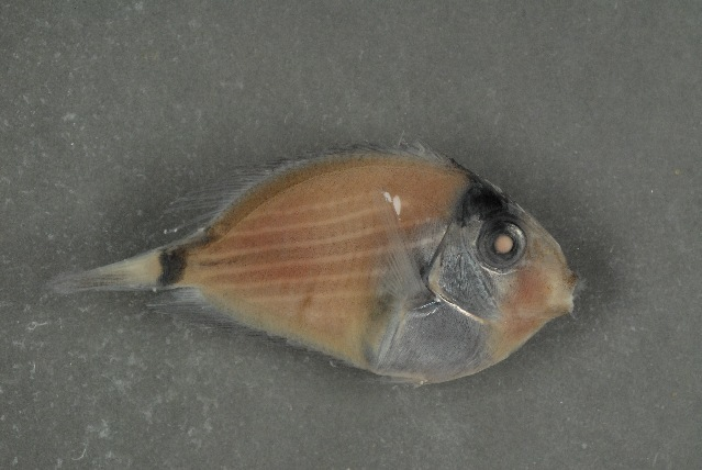 Image of Bristle-toothed Surgeonfish