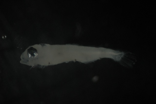 Image of Horned lanternfish