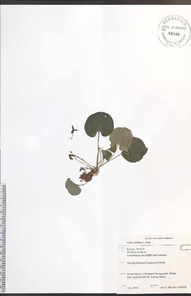 Image of white violet