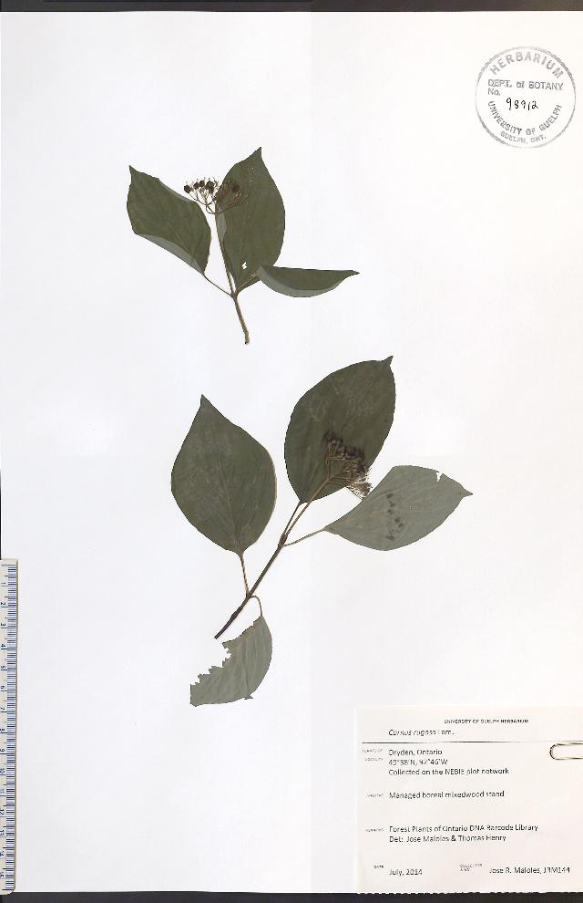 Image of roundleaf dogwood