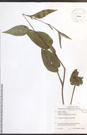 Image of Lindley's aster