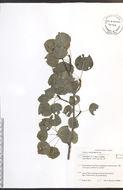 Image of quaking aspen
