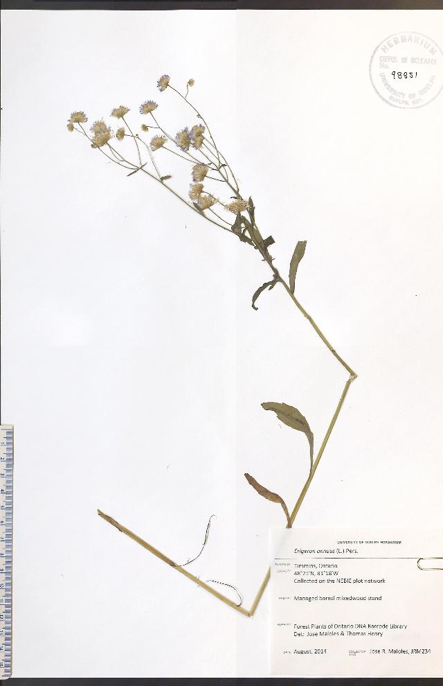 Image of eastern daisy fleabane