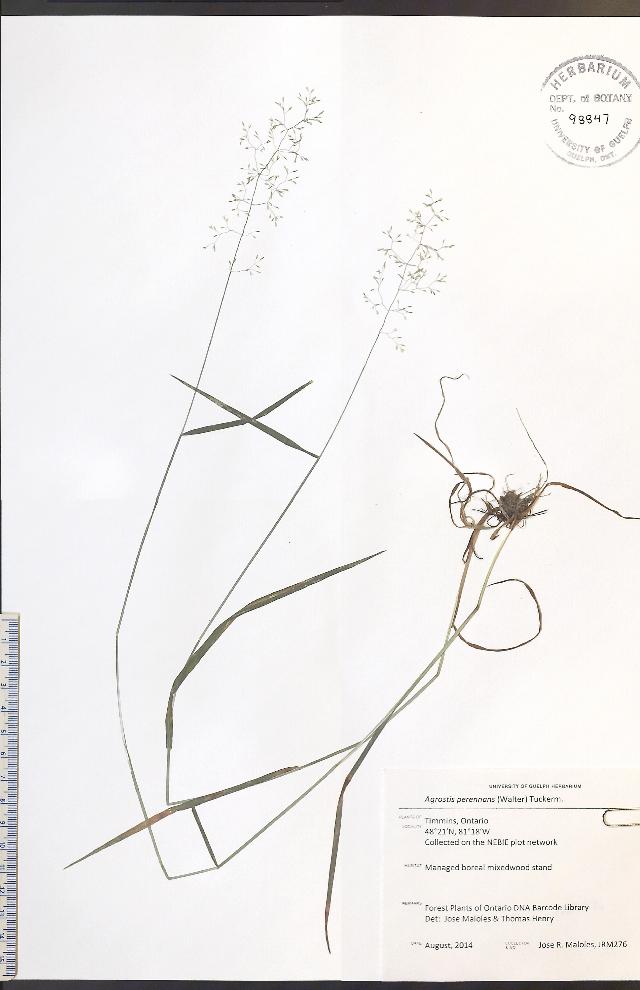 Image of upland bentgrass
