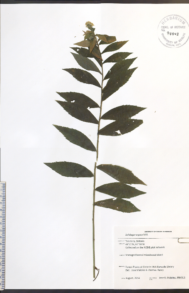 Image of wrinkleleaf goldenrod