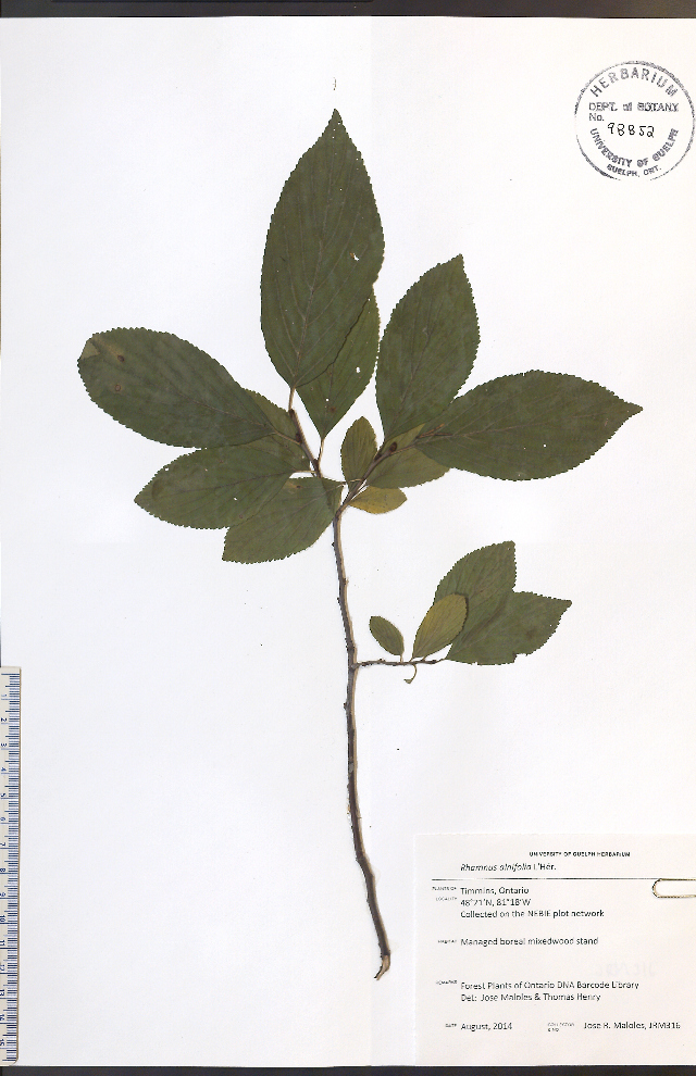 Image of alderleaf buckthorn