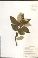 Image of Ontario Balsam Poplar