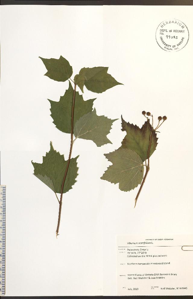 Image of mapleleaf viburnum