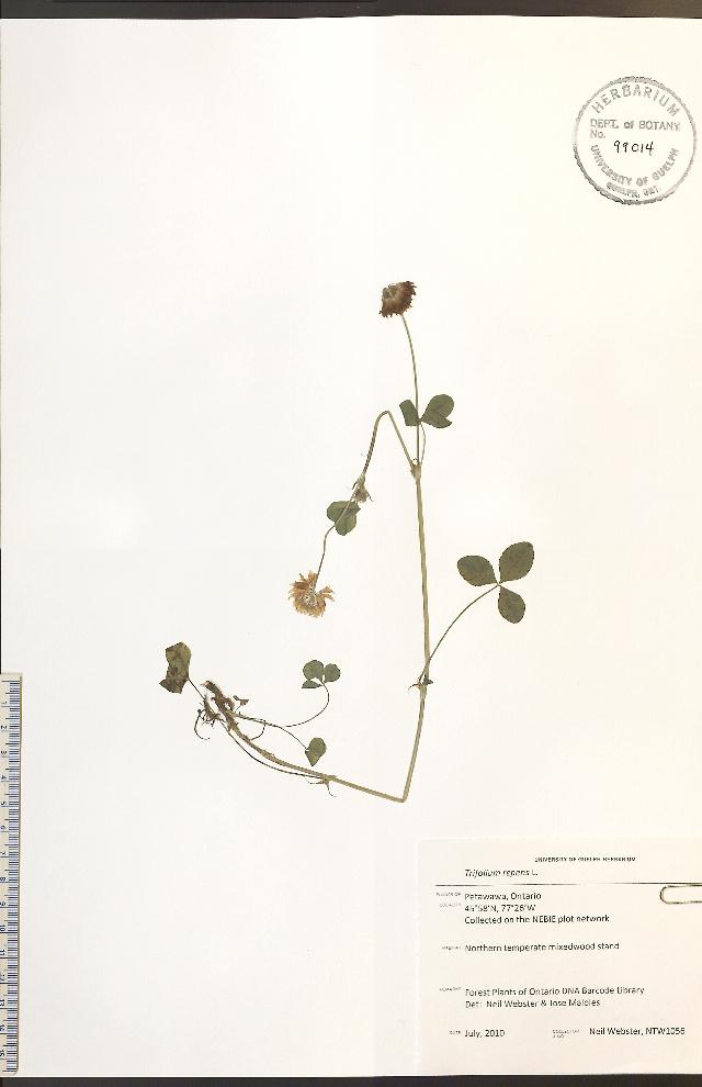 Image of white clover