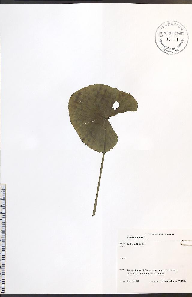 Image of Marsh-marigold