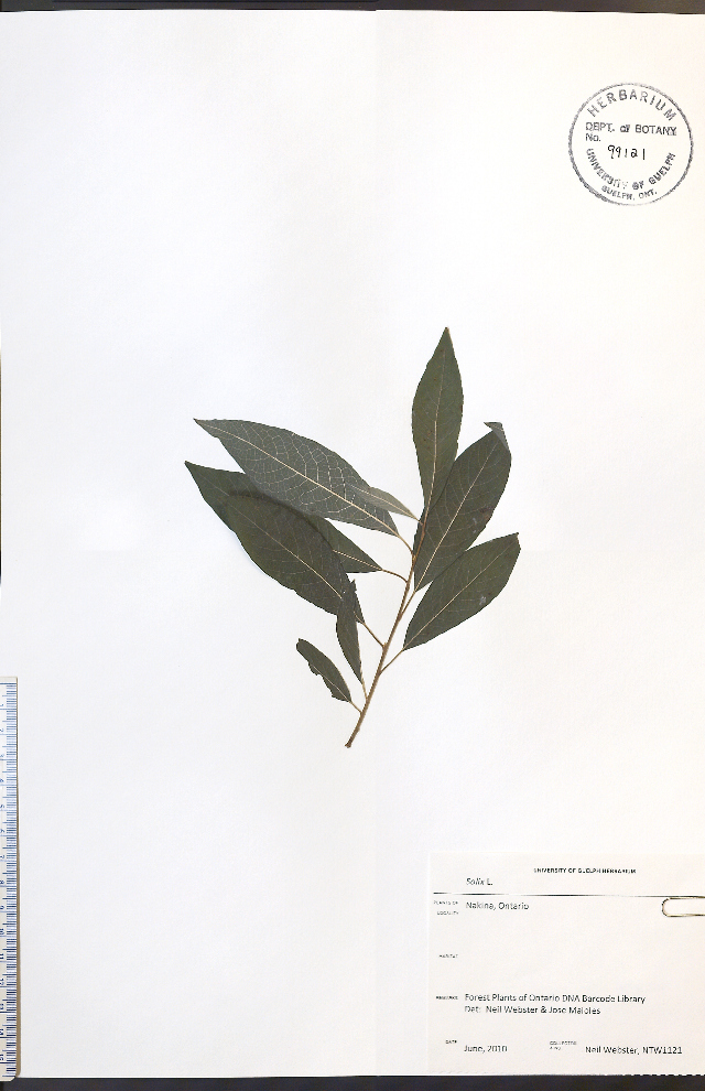 Image of willow