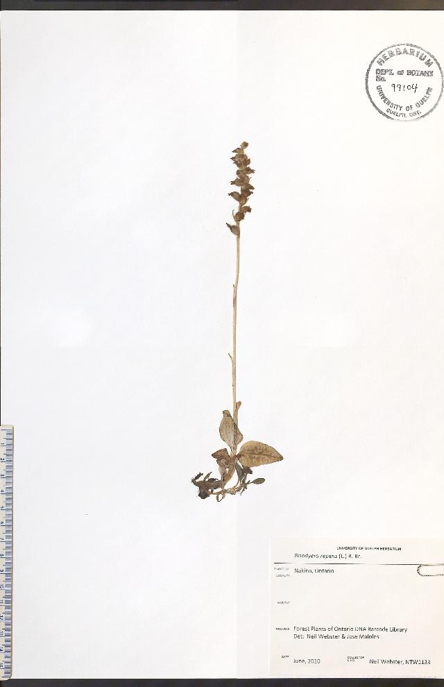Image of Dwarf rattlesnake plantain (America)