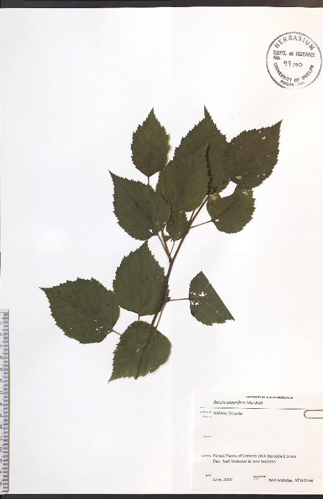 Image of paper birch