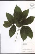 Image of wild sarsaparilla