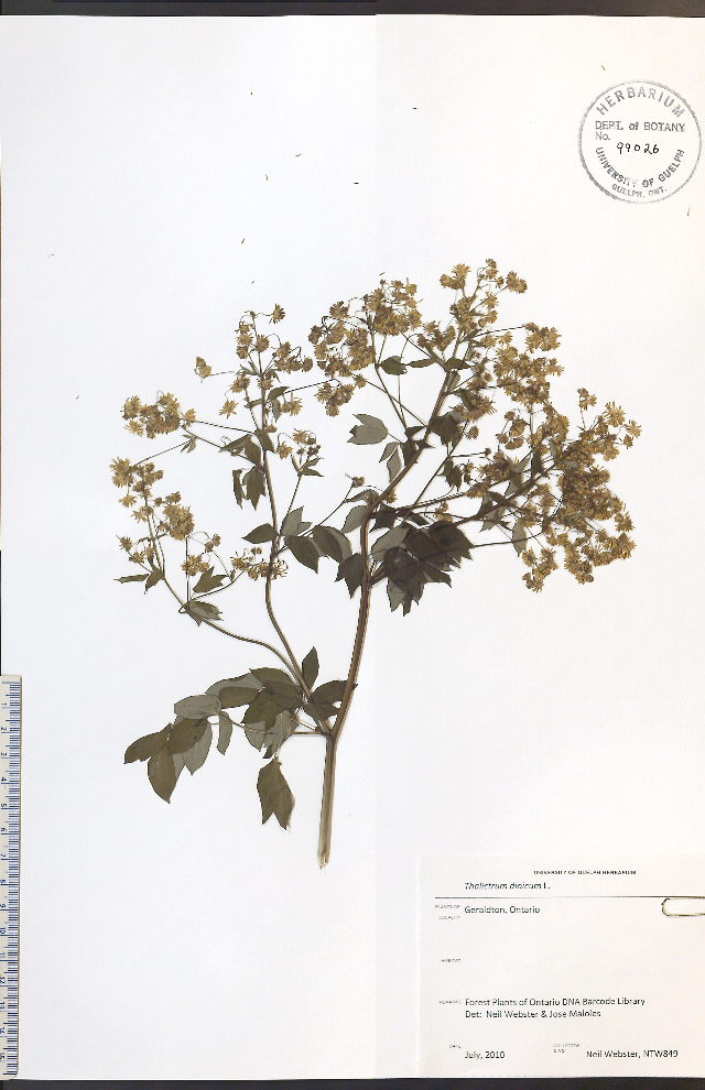 Image of early meadow-rue