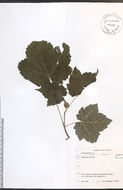 Image of Moose Maple