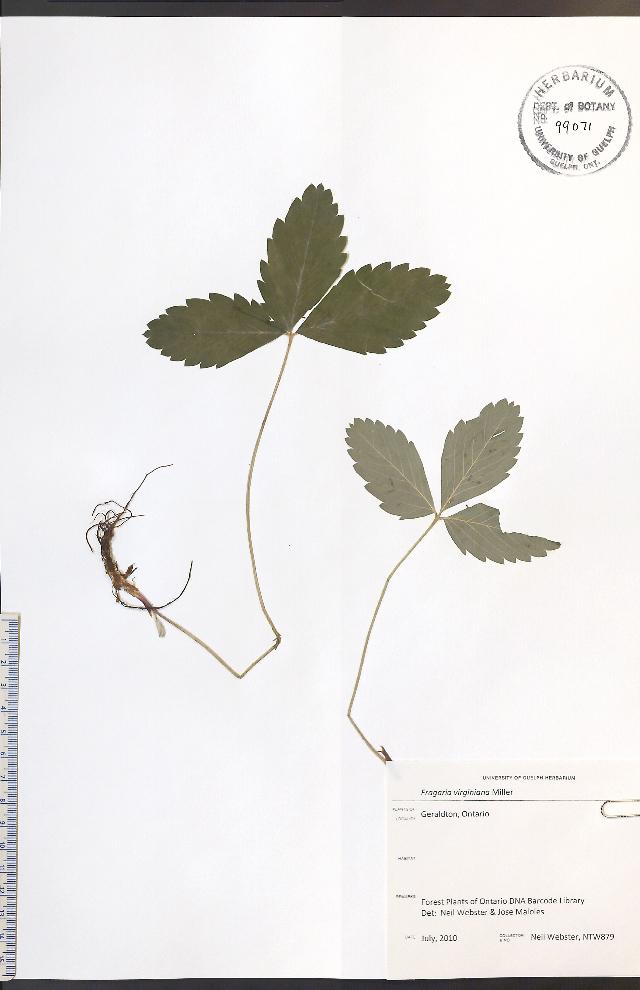 Image of Virginia strawberry