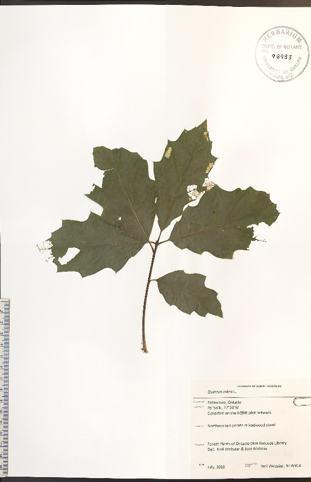 Image of Northern Red Oak