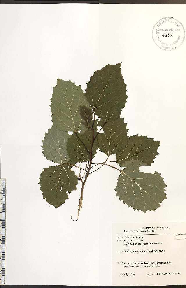 Image of bigtooth aspen